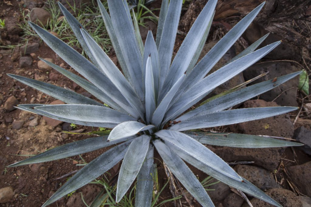 This is a blue agave plant used to make blanco tequila, reposado Tequila  and anejo Tequila. Great agave makes great tequila makes great Tequila cocktails